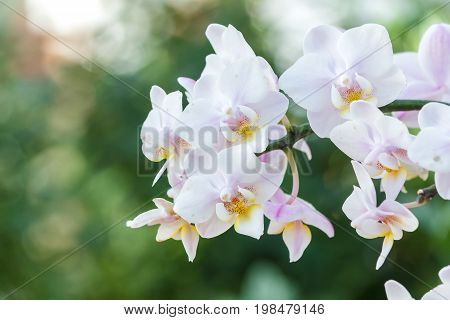 Beautiful orchid flower in the garden at winter or spring day for postcard. beauty and agriculture idea concept design. Orchids are export business products of Thailand that make a lot of money.