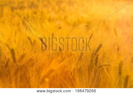Amazing magic golden sunlight on field of wheat. Wheat crop sways on the field with golden sunlight closeup.