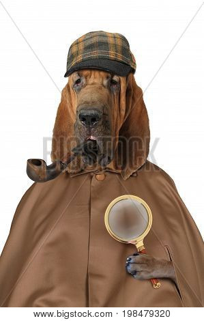 Purebred Bloodhound dog dressed in the style of Sherlock Holmes with magnifying glass and pipe isolated on a white background