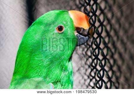 Green Parrot, Color Image, Selective Focus, Horizontal Image