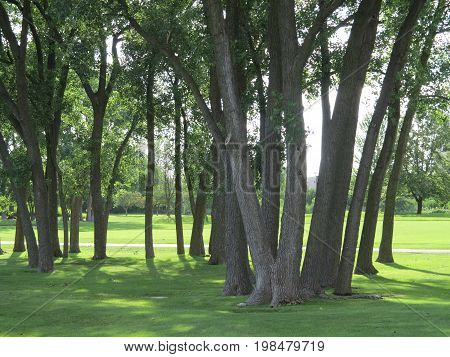 Grove of tall tress in summer with sunlight piercing thru