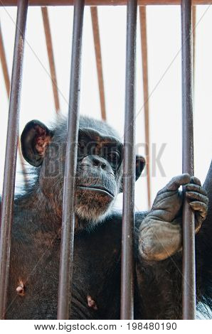 Monkey In The Zoo, Color Image, Selective Focus, Vertical Image