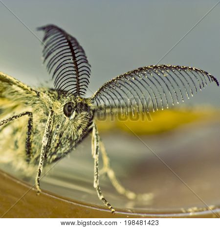 Night butterfly with interesting antennas close up