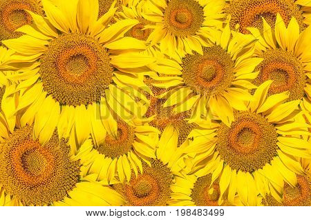 Pattern of bright yellow sunflowers on a white isolated background an unripened sunflower with a yellow center a background of yellow flowers