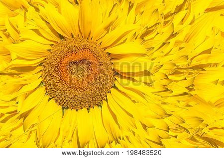 A pattern of bright yellow sunflowers on a white isolated background an unripened sunflower with a yellow center a background of a yellow flower