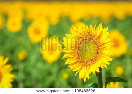 A bright yellow sunflower stands in a field of sunflowers a field of sunflowers in a summer sunny day a blurred background of sunflowers
