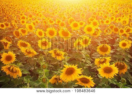 Sunflower field warm sunny evening sunflowers at sunset lots of sunflower ryazhov