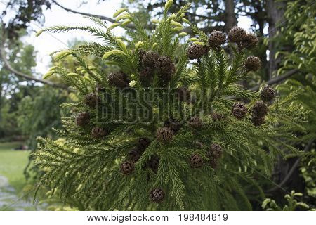 Cone or round woody fruit from pine tree