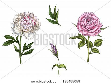 Set with rose and peony flower leaves bud and stems isolated on white background. Botanical