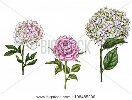 Set with peony rose and phlox flowers leaves and stems isolated on white background. Botanical