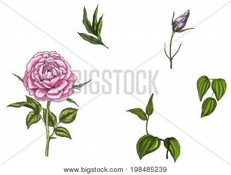 Set with rose flower leaves bud and stems isolated on white background. Botanical