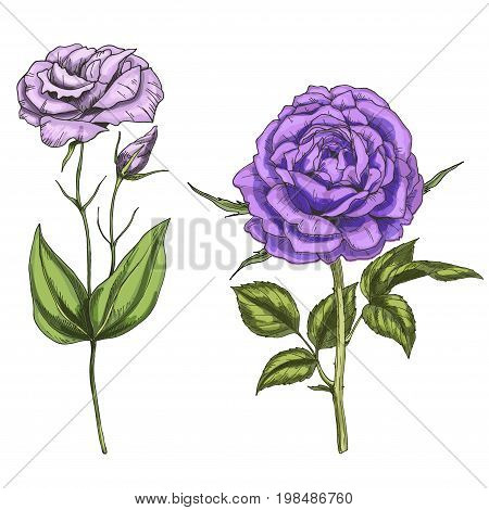 Violet rose and eustoma flowers bud leaves and stems isolated on white background. Botanical vector