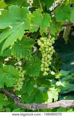 green grapes haning uvae pallium suum with wood