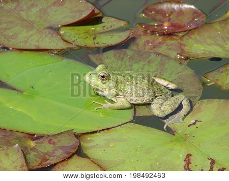 Frog sitting on a leaf of a water lily.