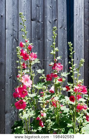 red hollyhock in front of wooden wall
