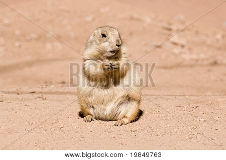 A prairie dog having lunch in the sun poster
