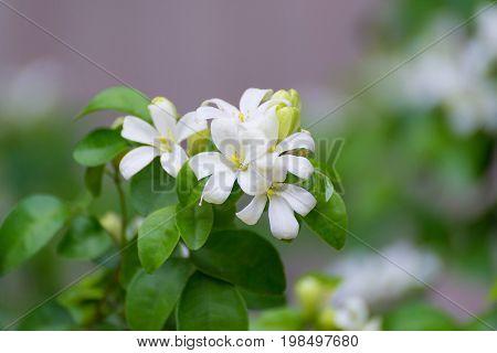 White Flower Of Orange Jessamine, Satin Wood, Murraya Exotica Tree, Cosmetic Bark Tree.