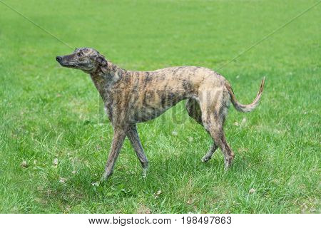 Hunting dog English Greyhound goes on a background of green grass view in profile