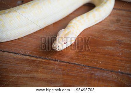 Gold python snake head On wooden floor