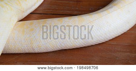 Body of Gold Python On wooden floor