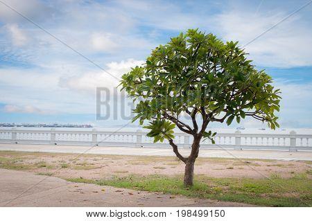 Beautiful landscape of Alone frangipani tree Plumeria tree near White barricade of the beach in Thailand Lonely scene concept.