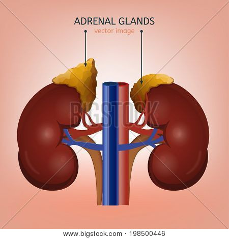 Human kidney and adrenal gland image. Health care, anatomical and medical vector illustration isolated on a light blue background.