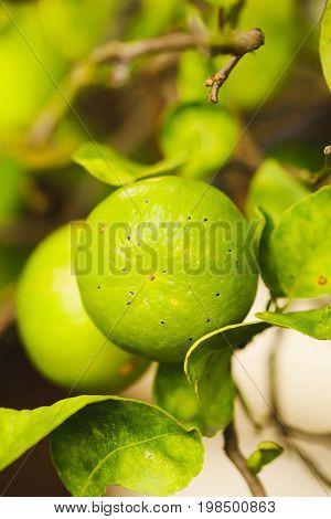 Green Lemon on the lemon tree in the garden