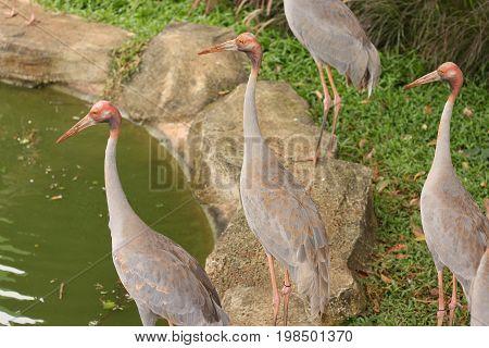 The Thai sarus crane un the garden