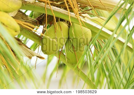 Coconut tree with tender coconuts  in India