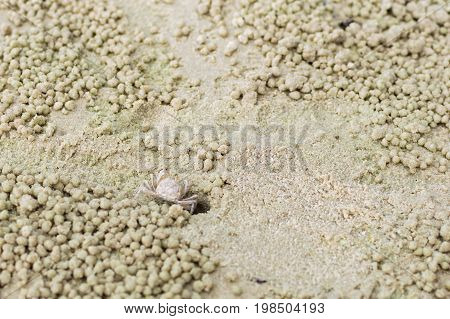 Small Ghost Crab Making Sand Ball