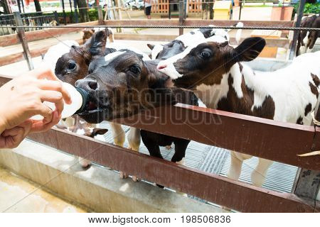 Cute Little Black And White Cow Or Calf Eating Or Drinking Milk