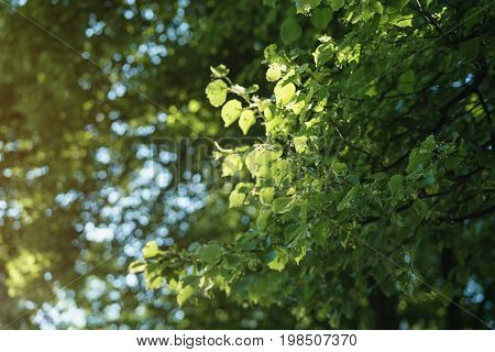 linden tree blossom in sunny summer evening, shalow focus