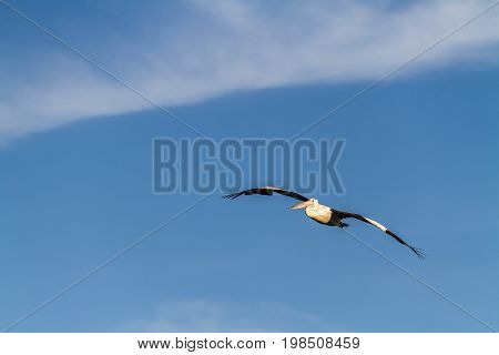 Australian Pelican Flying Against Blue Sky