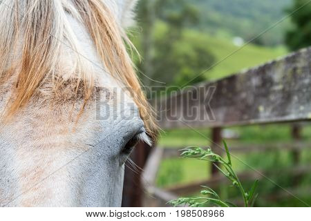 Close Up On The Eye Of A Gentle Palomino Horse