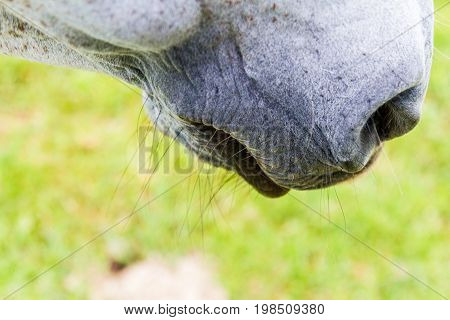 Grey horse muzzle with whiskers and nostril in close-up