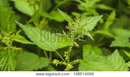Fresh Nettle Leaves. Concept Of Alternative Medicine.