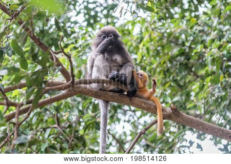 Dusky leaf monkey and little Dusky leaf monkey in the forest.