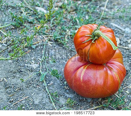 Organically grown tasty natural village tomatoes is a privilege to keep by hand.
