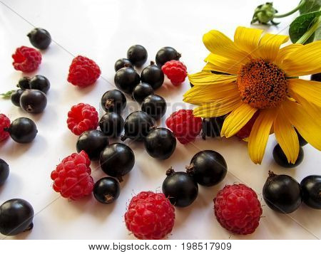 Beautiful appetizing background - a bright yellow Jerusalem artichoke flower lies among berries of the raspberries and blackcurrant scattered on a white surface. Isolated black berries of the juicy Ribes nigrum ripe red berries of the Rubus idaeus and one
