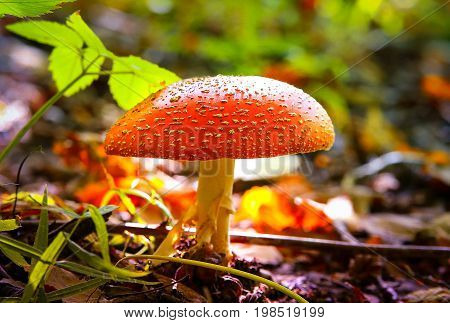 Poisonous mushroom Amanita muscaria in forest with blurred background
