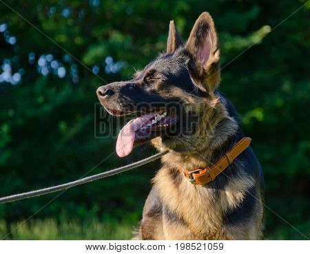 Happy German shepherd in the sunlight (with its eyes closed)
