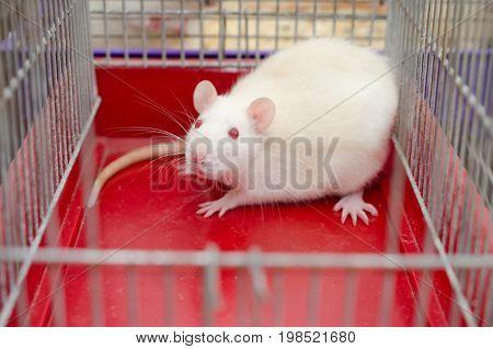 Scared white laboratory rat in a cage