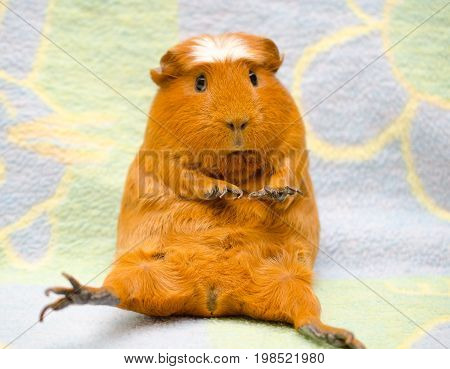 Cute funny-looking guinea pig sitting in a funny pose against a bright background (selective focus on the guinea pig nose)