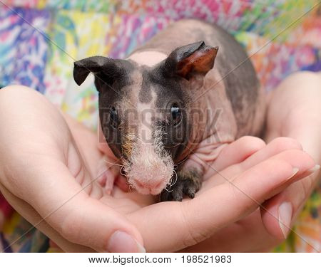 Skinny guinea pig baby in the hands of a child
