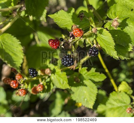 Mature Ripen Blackberry Brambles On The Bush