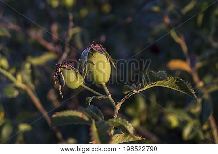 While immature rosehip fruit, rosehip is still green,