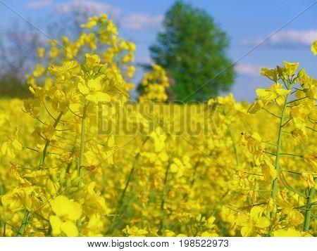 Bright yellow rape flowers in a rape field