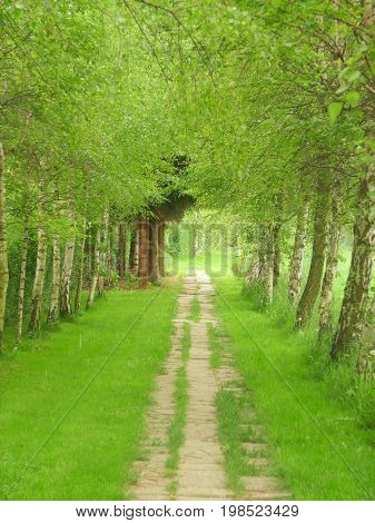 Lane going through a beautiful arch alley of birth-trees resembling a green tunnel