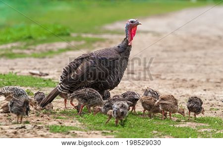 Summer. Day. Rural courtyard. In the frame the turkey mother and toddlers are turkeys. Horizontal frame. Ukraine. Kharkov region