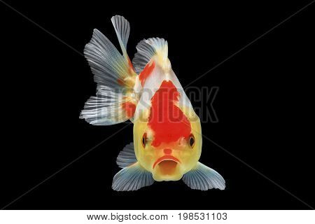 Large Goldfish open mouth isolated on black background